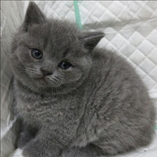 广州哪里有大型猫舍 广州哪里买卖纯种宠物猫舍有保障