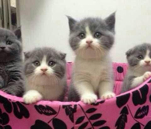 东莞哪里有猫舍 东莞哪里买网红英国短毛猫蓝白猫