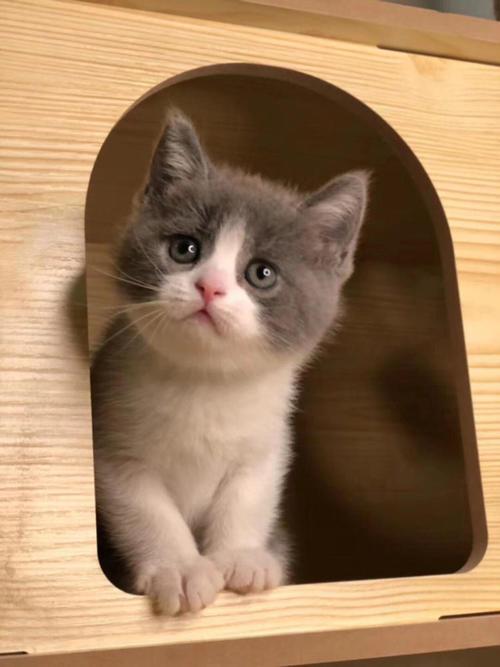 广州哪里有卖蓝白猫广州宠物猫专卖店在哪