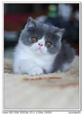 加菲猫购买哪好呢,佛山哪里有卖加菲猫