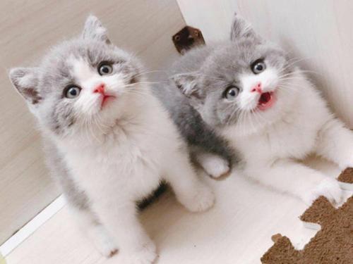 东莞哪里有卖蓝白猫咪,买猫性价比首选