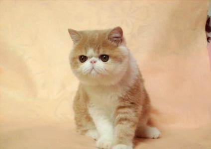中山哪里有卖加菲猫现在加微信挑选优惠