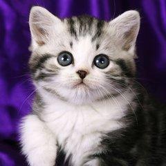 广州哪里有卖美短猫,纯种美短幼猫多少钱一只健康的