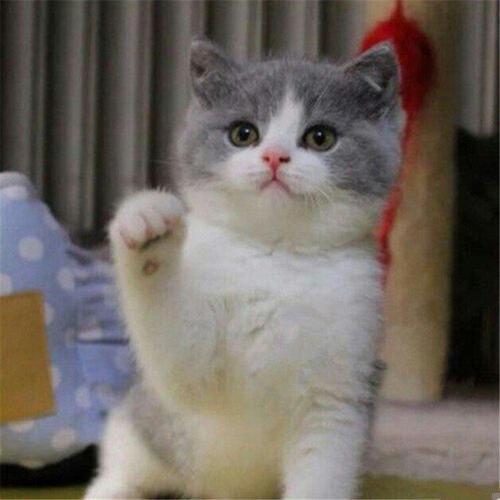 江门哪里有卖蓝白猫买只猫需要多少钱
