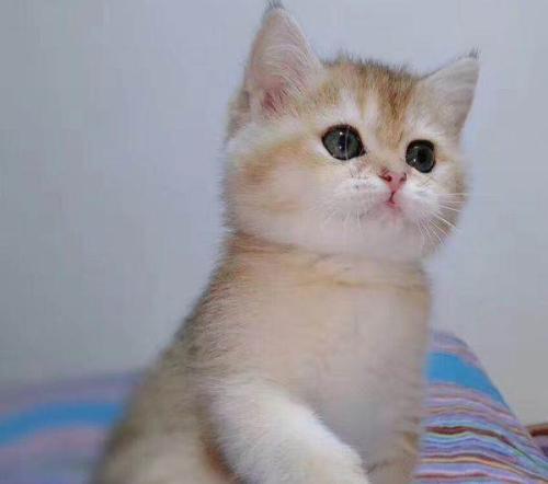 佛山哪里买金渐层幼猫猫舍直销,价格优惠