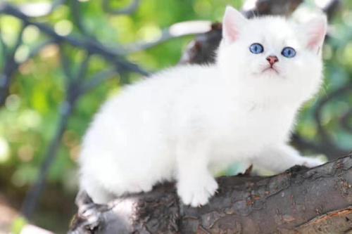 英国短毛猫性格可爱粘人,,广州哪里有卖银渐层猫有售后服务
