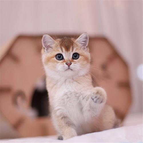 金渐层猫价格可谈,可现场挑选广州哪里有卖金渐层猫
