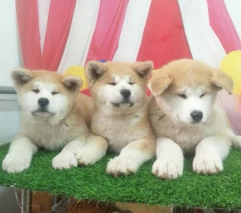 出售秋田犬公母都有品质一流质量三包完美售后