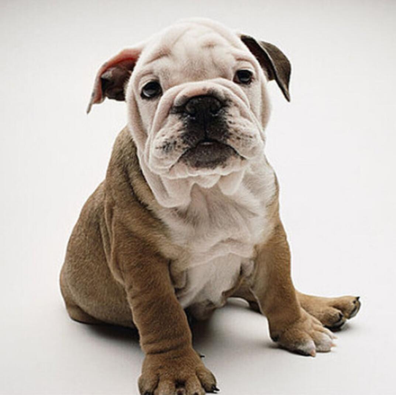CKU认证犬舍出售高品质英国斗牛犬全国质保全国送货