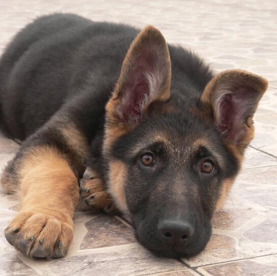 大型基地繁育极品德国牧羊犬冠军后代德国狼狗聪明