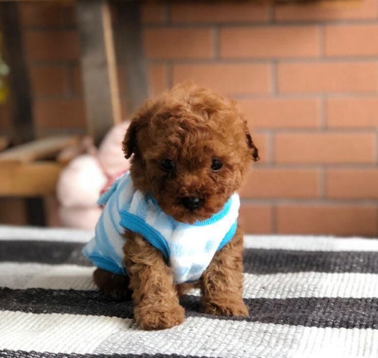 冠军级后代贵宾犬,可看狗狗父母照片,提供养狗指导