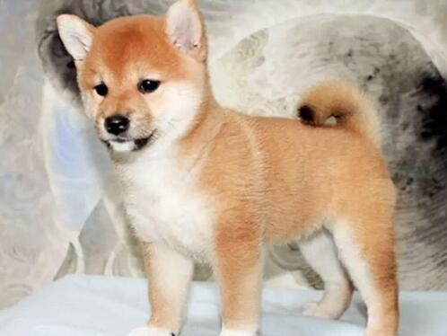 纯种赛级柴犬 可看狗狗父母照片 可送货上门