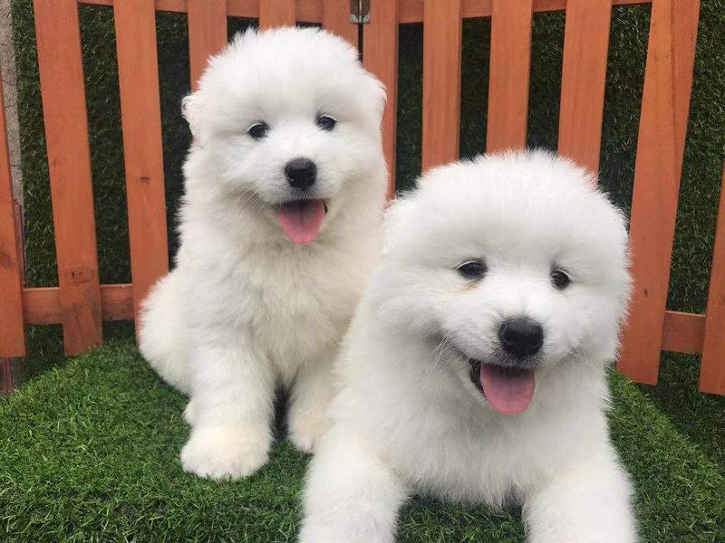 权威机构认证犬舍 专业培育萨摩耶幼犬诚信经营三包终身协议