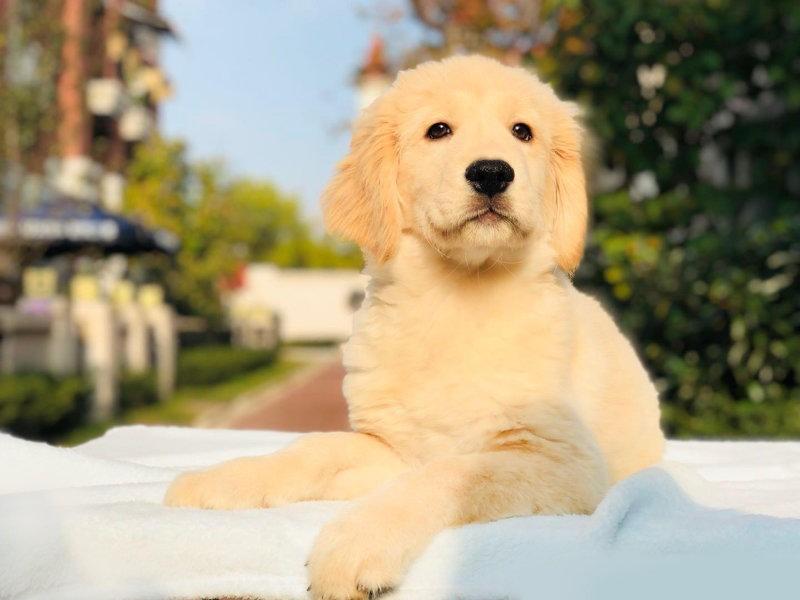 国内最具规模的双血统金毛犬舍,保纯种可签协议