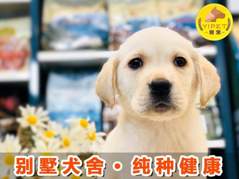 精品高品质拉布拉多幼犬热卖中上门可见父母