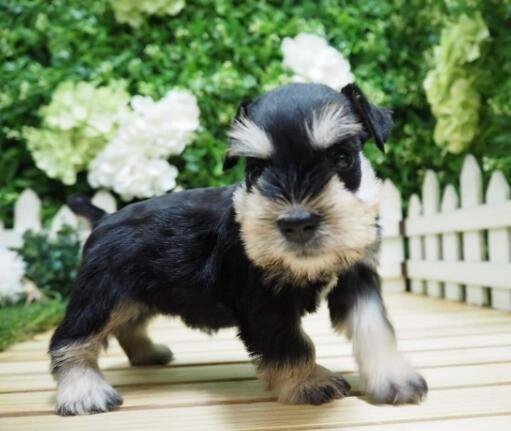 基地繁殖纯种雪纳瑞幼犬疫苗做齐超可爱巨型雪纳瑞