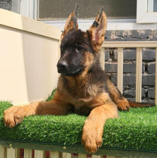 纯种德国牧羊犬直销锤系德牧健康质保签协议