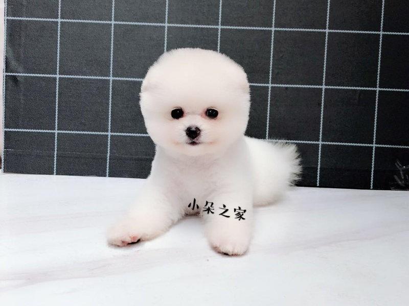 热销多只优秀的纯种博美犬幼犬质量三包完美售后