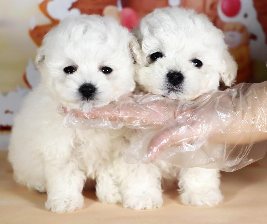权威机构认证犬舍、专业比熊犬繁殖 完美售后服务
