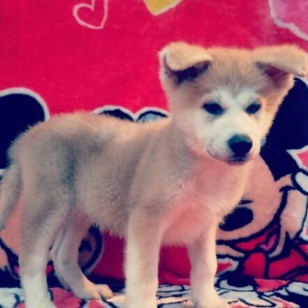 出售纯种健康的秋田犬幼犬下单有礼全国包邮