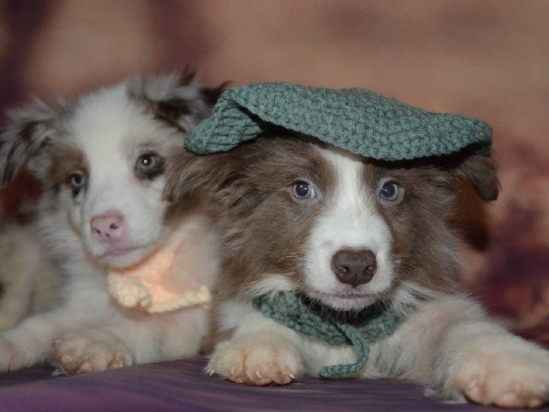 精品边境牧羊犬幼犬一对一视频服务买着放心真实照片视频挑选