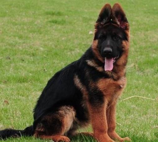高品质德国牧羊犬、诚信经营、品质保障、全国托运
