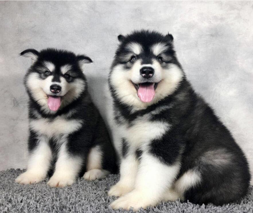 知名犬舍出售多只赛级阿拉斯加犬以品质惊世人