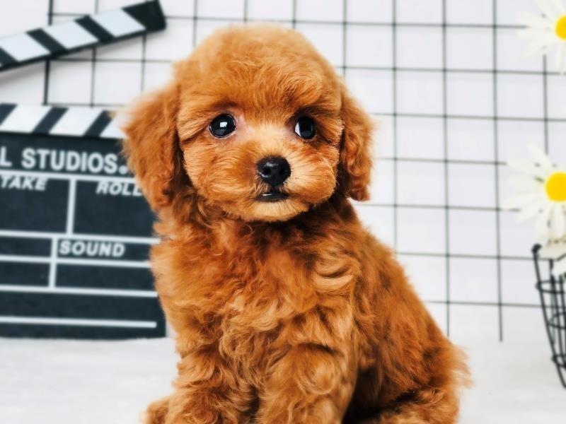 超级精品泰迪犬 可看狗狗父母照片 当天付款包邮