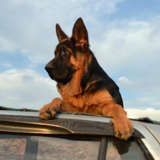 专业德国牧羊犬繁殖 ,保纯种健康、完美售后