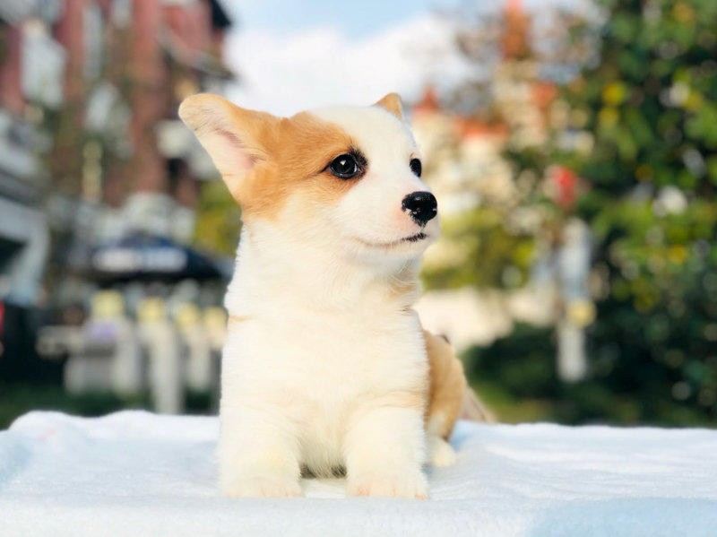 热卖柯基多只挑选视频看狗爱狗人士优先狗贩勿扰