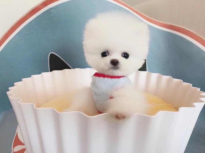 出售聪明伶俐博美犬品相极佳赛级品质保障