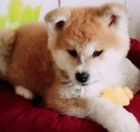 高品质秋田犬犬舍、保健康保纯度、可签协议