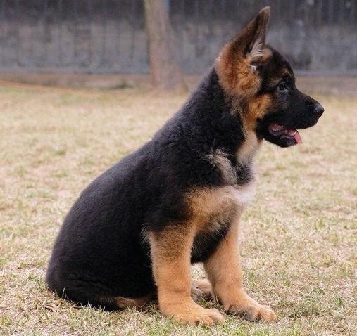 自家养纯正德国牧羊犬锤系黑背幼犬警惕性高强壮