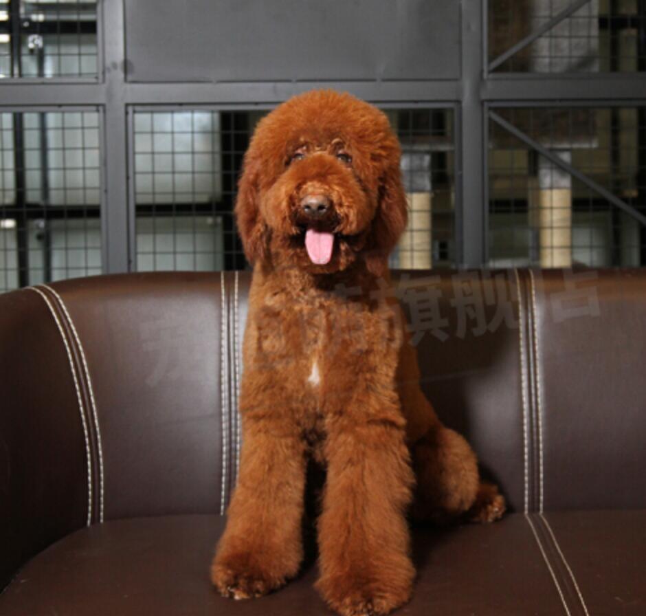 特价出售贵宾犬健康长相好体型完美欢迎咨询来看