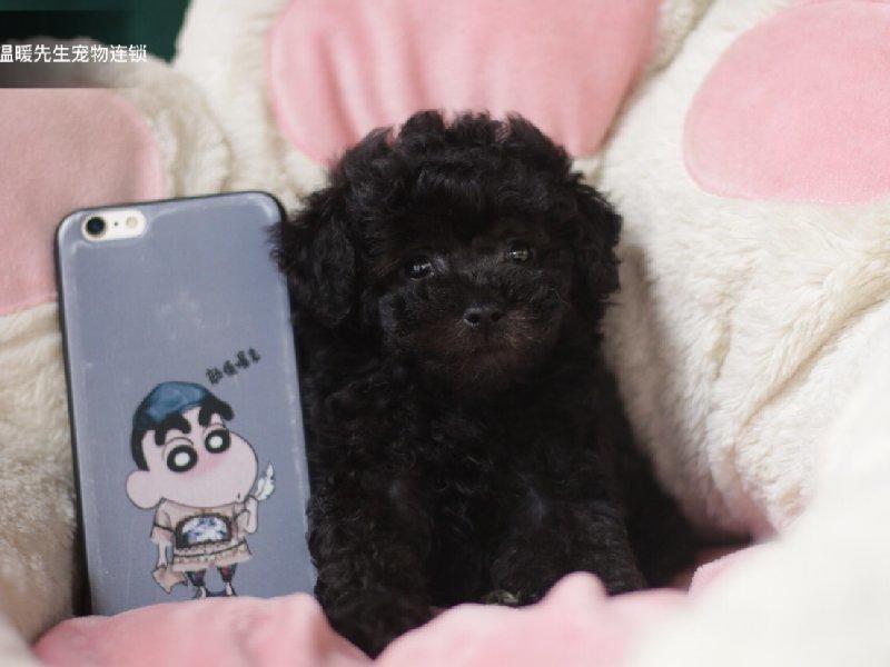 火爆出售血统纯正的泰迪犬微信咨询看狗狗照片