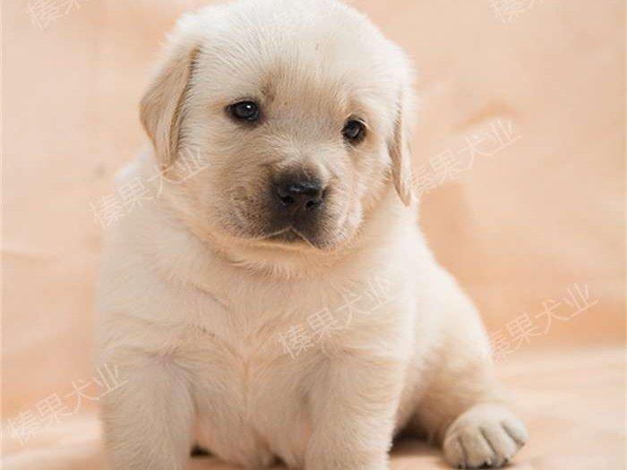 CKU认证犬舍 专业出售极品 拉布拉多幼犬保障品质售后