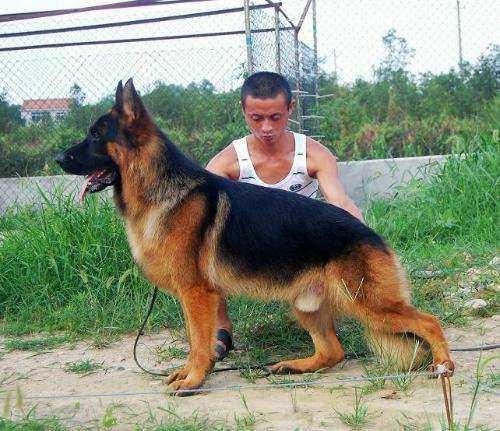 高品质德国牧羊犬、品质保障、诚信经营、全国托运