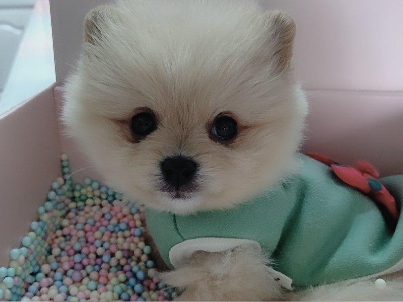 博美犬幼犬出售中 保证血统纯度 签订正规合同