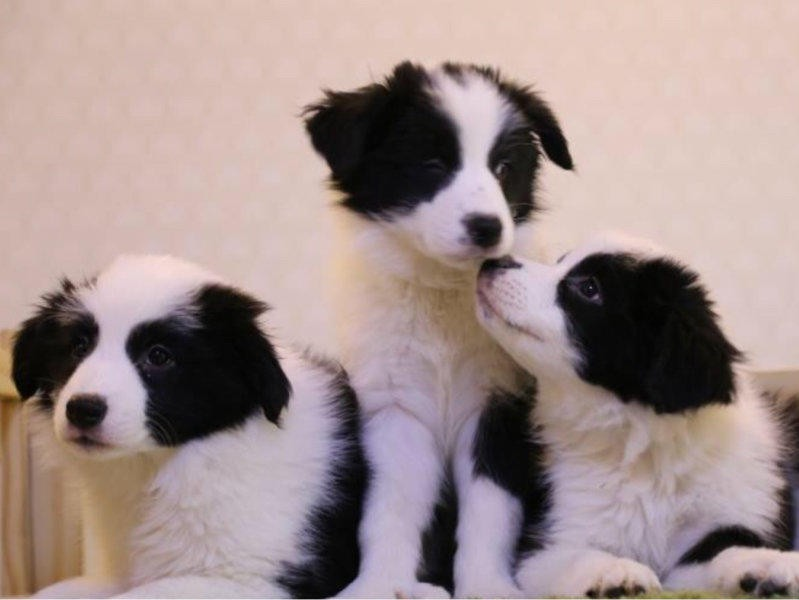出售多只优秀的边境牧羊犬可上门期待您的咨询