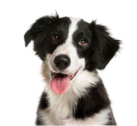 出售精品边境牧羊犬 打完疫苗证书齐全 提供养狗指导