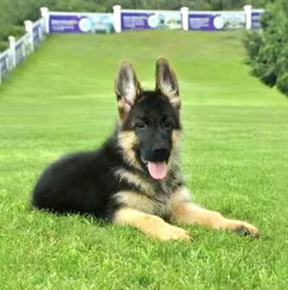 德牧活体纯种牧羊犬巨型黑贝幼犬德国牧羊犬警犬狼狗