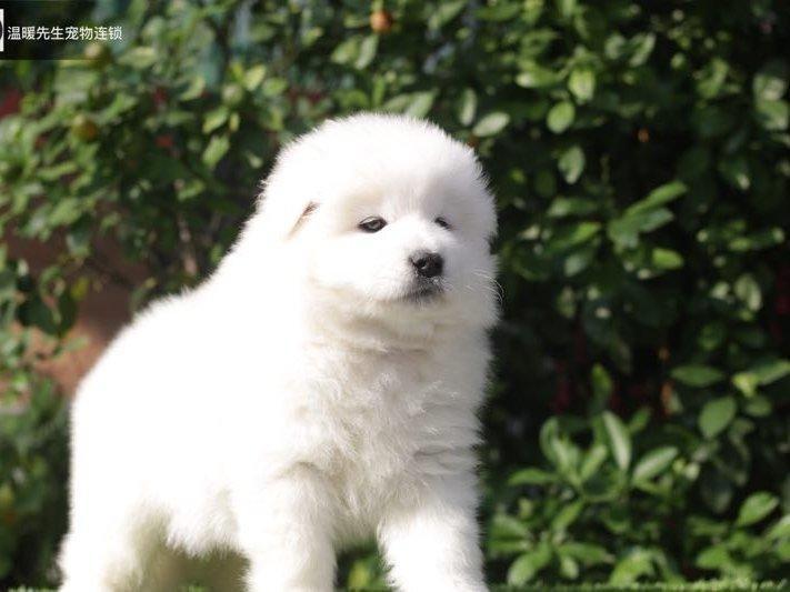 澳版萨摩耶犬幼犬出售 微笑天使聪明温柔好驯养