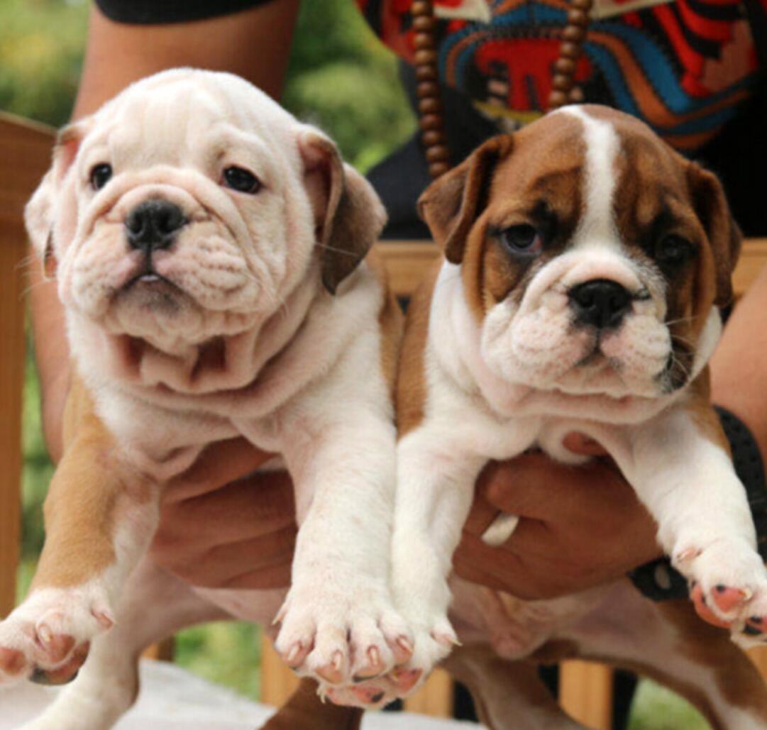 出售纯种英国斗牛犬~签协议保健康~疫苗齐全送货上门