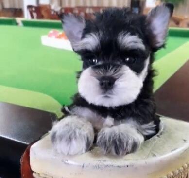 惊爆价出售纯种雪纳瑞幼犬完美售后保障椒盐色黑色
