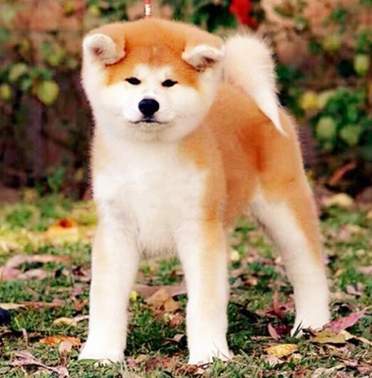 高品质秋田犬宝宝、纯种健康品相优良、诚信经营保障