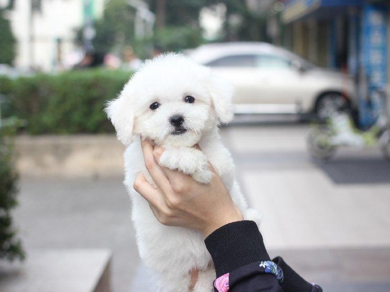 正规狗场犬舍直销比熊幼犬保障品质一流专业售后