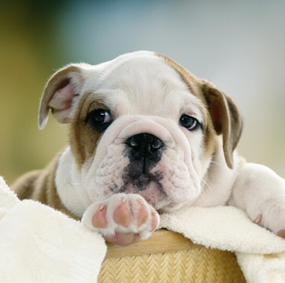 黄白色英牛幼犬 中型犬英斗犬活体宠物狗 双血统英牛