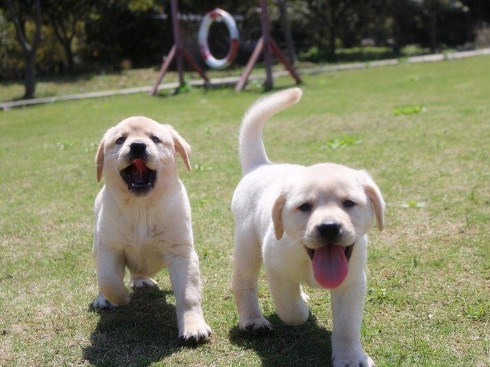 高智商拉布拉多犬幼犬 防疫全拉拉幼犬