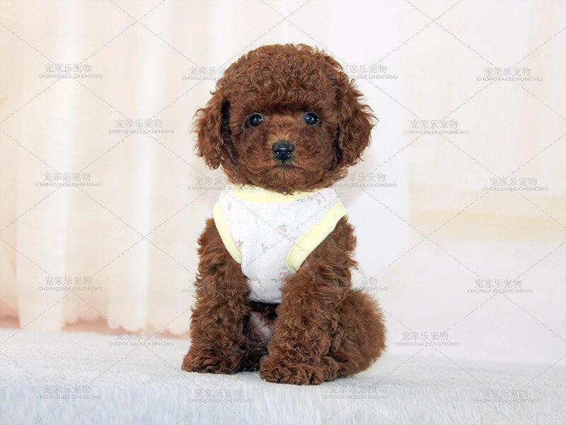 本地狗场出售纯种泰迪犬纽扣眼聪明懂事健康好养活