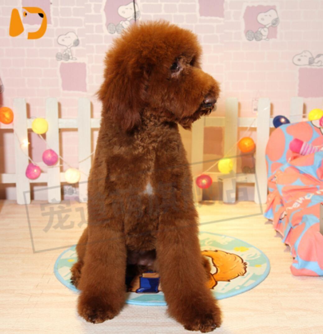 冠军品质的传承!高品质大骨架大毛量各色巨型贵宾犬